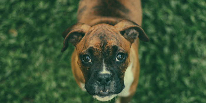 Boxer Dog Spirit
